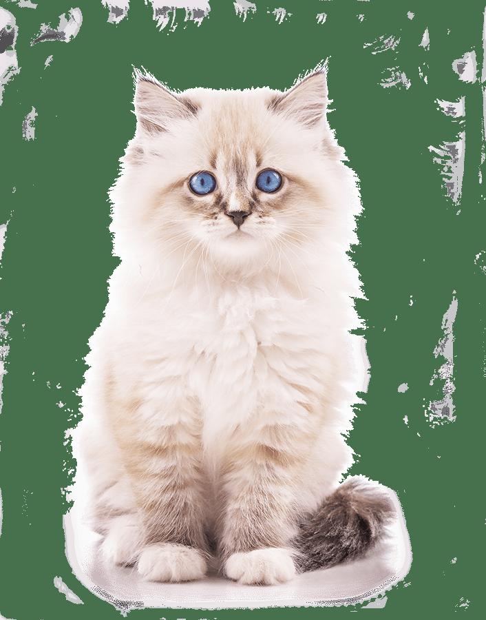 котенок-на прозрачном фоне