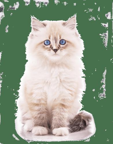 котенок-на-прозрачном-фоне-3